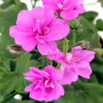 pelargonium peltatum lifestyle home garden nursery plant shop johannesburg gauteng
