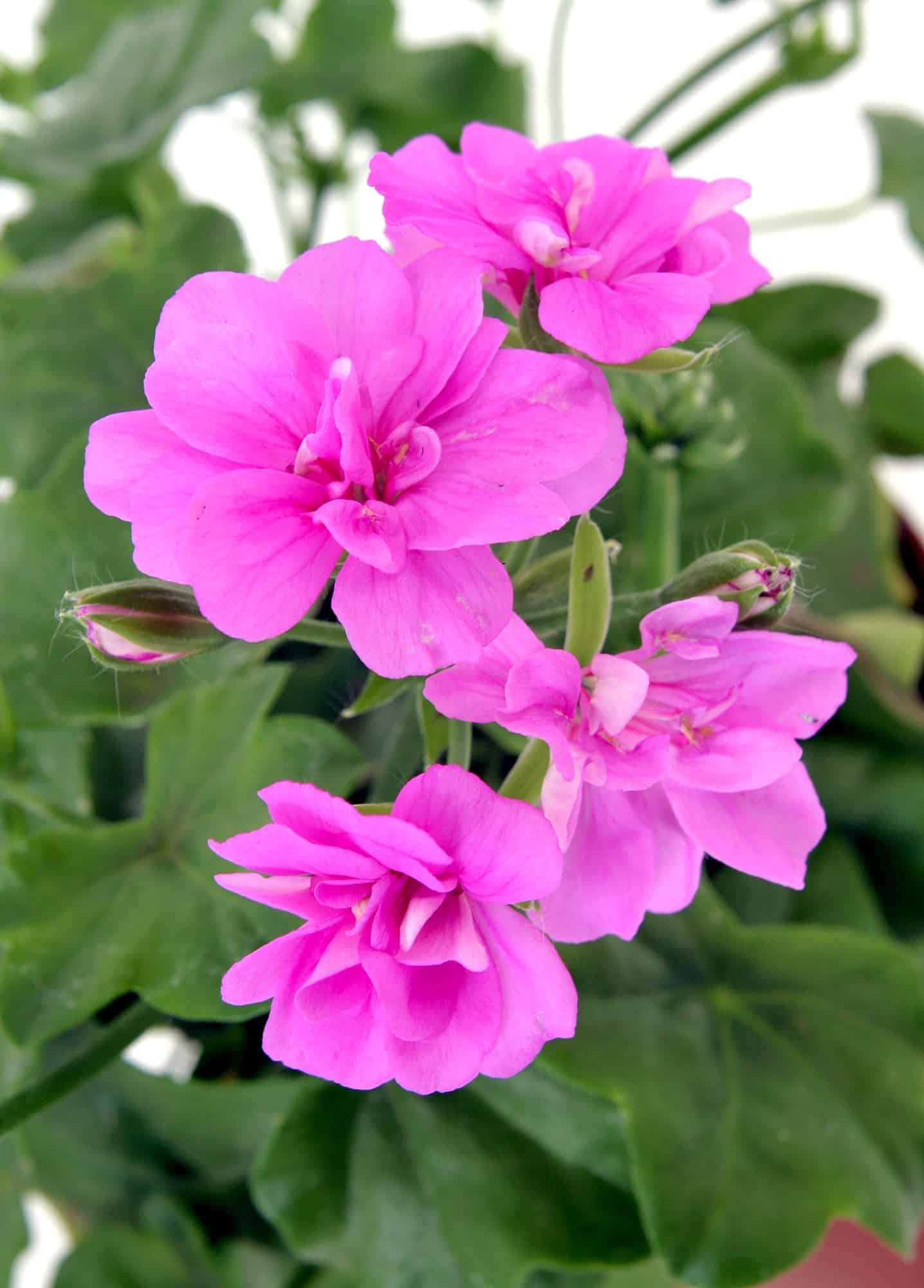 Lost In Translation What S The Difference Pelargonium Vs Geranium