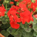 pelargonium zonale lifestyle home garden nursery plant shop johannesburg gauteng