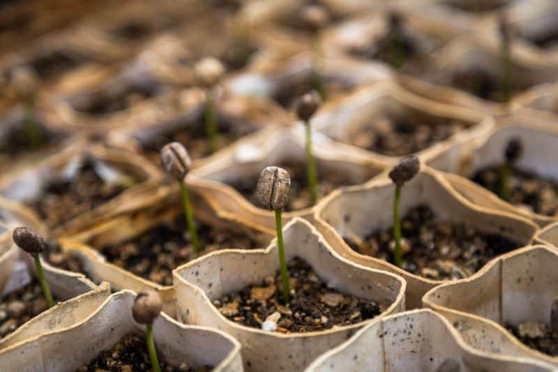 lifestyle home garden nursery plant shop johannesburg gauteng grow your own coffee blog caffeine gardening