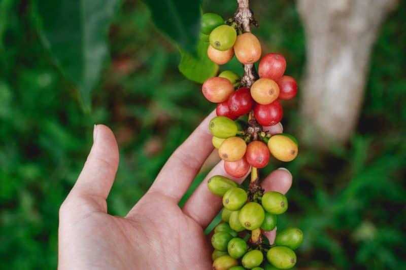 lifestyle home garden nursery plant shop johannesburg gauteng grow your own coffee caffeine gardening