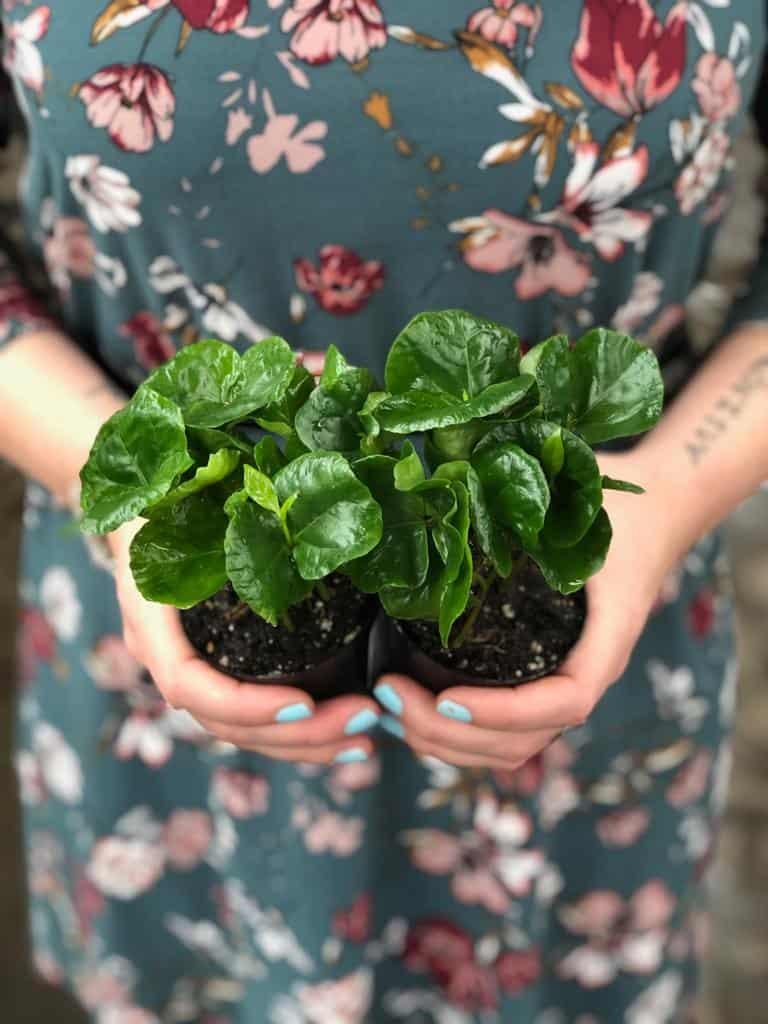 coffee arabica seedling plant lifestyle home garden nursery plant shop johannesburg gauteng grow your own caffeine