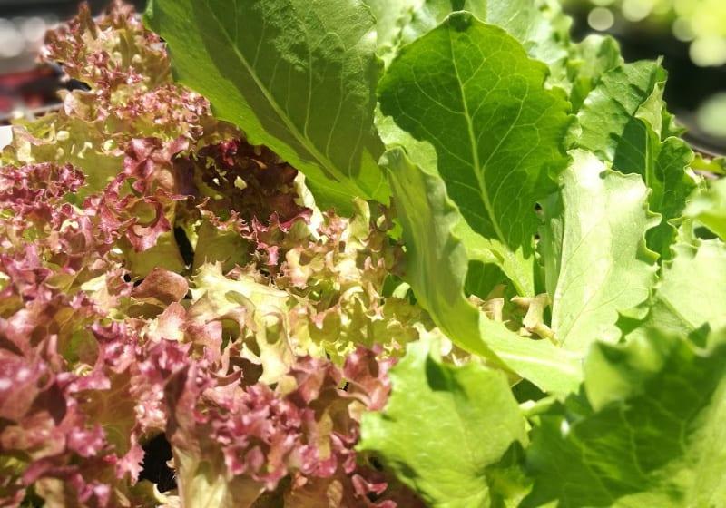 lifestyle home garden nursery plant shop lettuce salad crop gardening home johannesburg gauteng