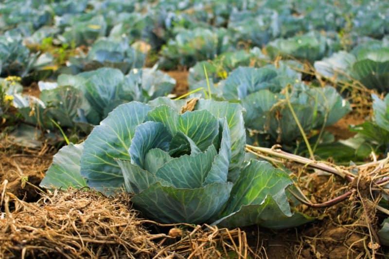 cabbages lifestyle home garden nursery plant shop johannesburg gauteng brassicas