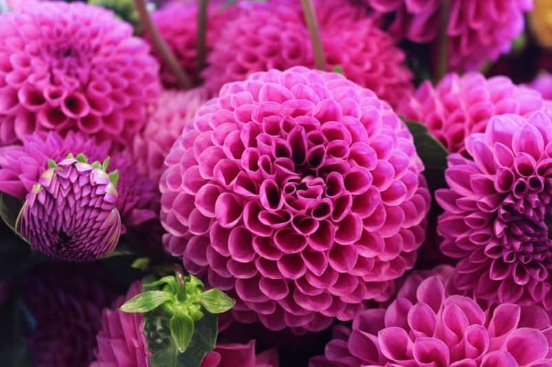 lifestyle home garden dahlia flower pop of colour nursery plant shop johannesburg gauteng