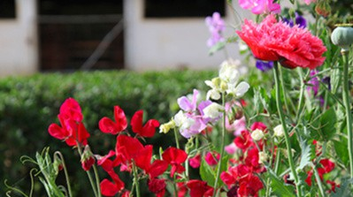 sweet peas lifestyle home garden nursery plant shop spring flowers johannesburg gauteng