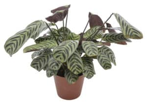 indoor plants benefits bring life indoors lifestyle home garden nursery plant shop johannesburg gauteng trends trending prayer plant calathea