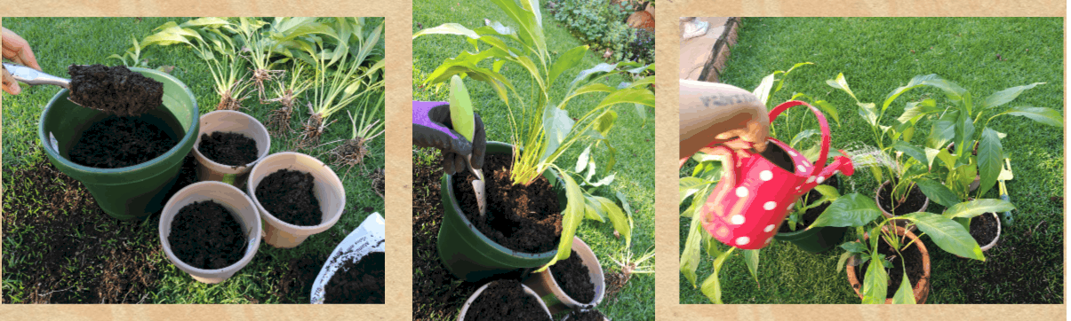 propagation division lifestyle home garden diy plants garden gardening nursery plant shop johannesburg gauteng peace lily spathiphyllum