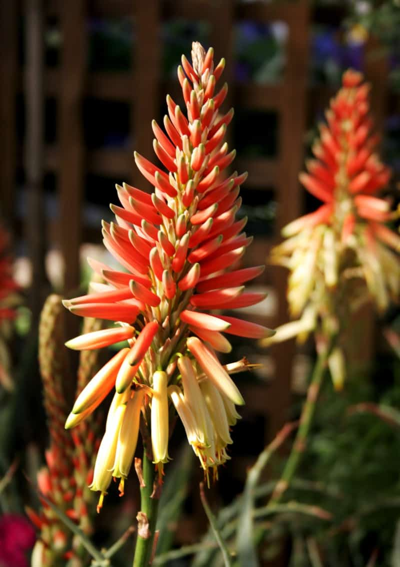 aloe winter in the garden season seasonal colour lifestyle home garden nursery plant shop gift ideas johannesburg gauteng
