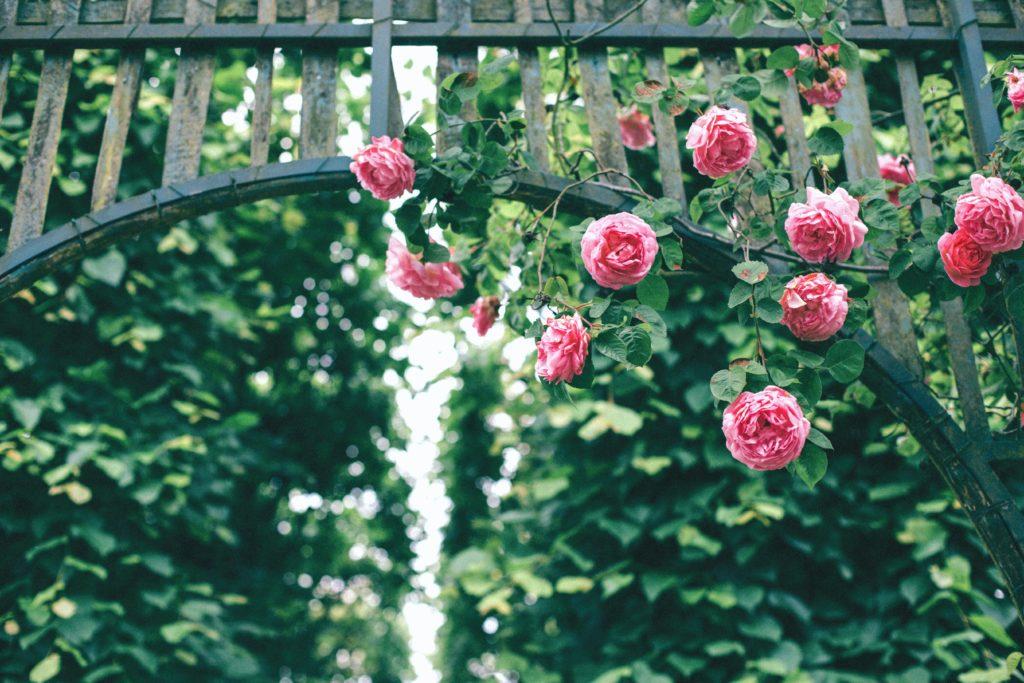 roses climbing plant vertical gardening lifestyle home garden nursery plant shop grow up johannesburg gauteng