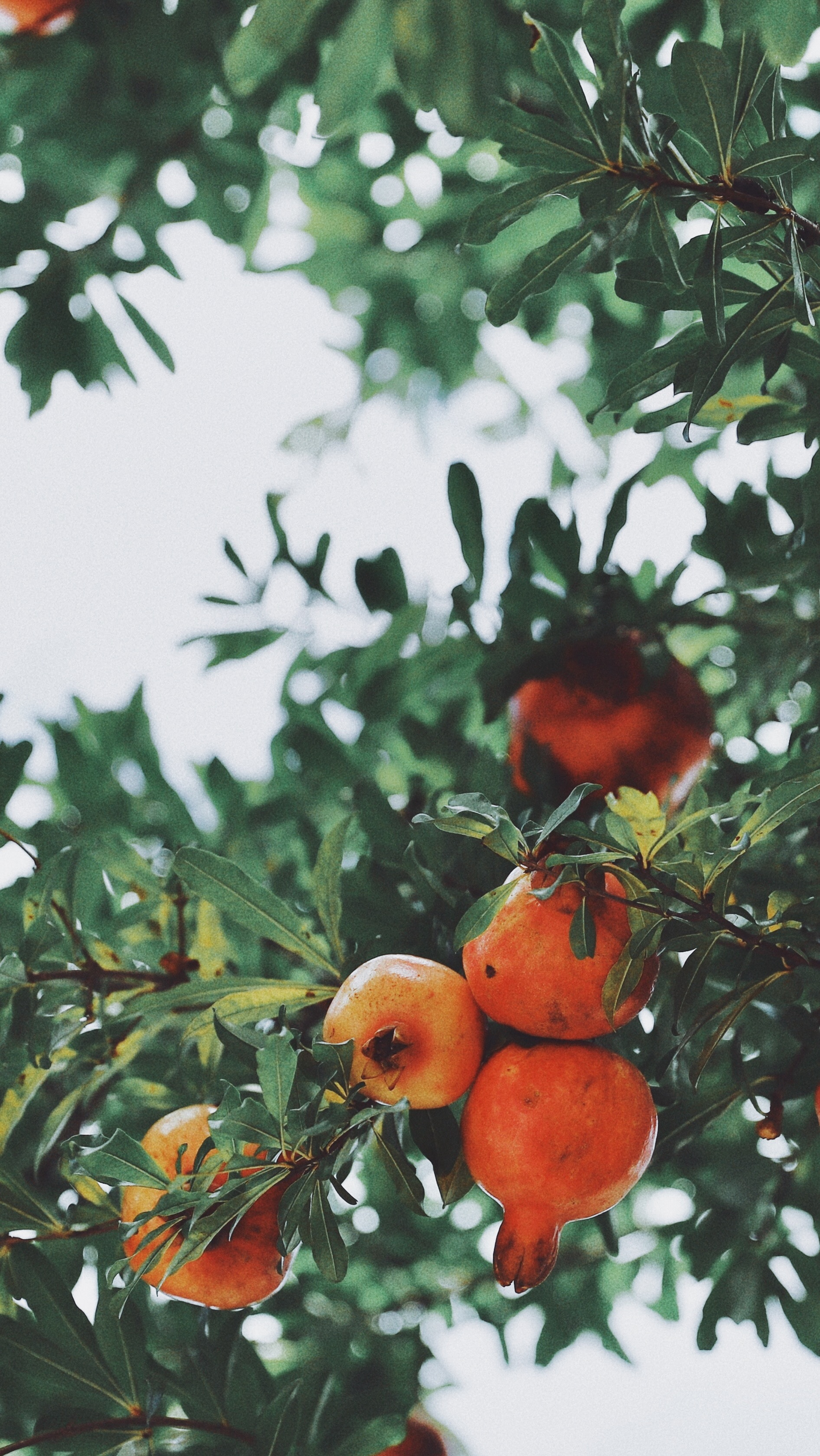 deciduous fruit trees lifestyle home garden nursery plant shop johannesburg gauteng pommes stone grow your own orchard espalier