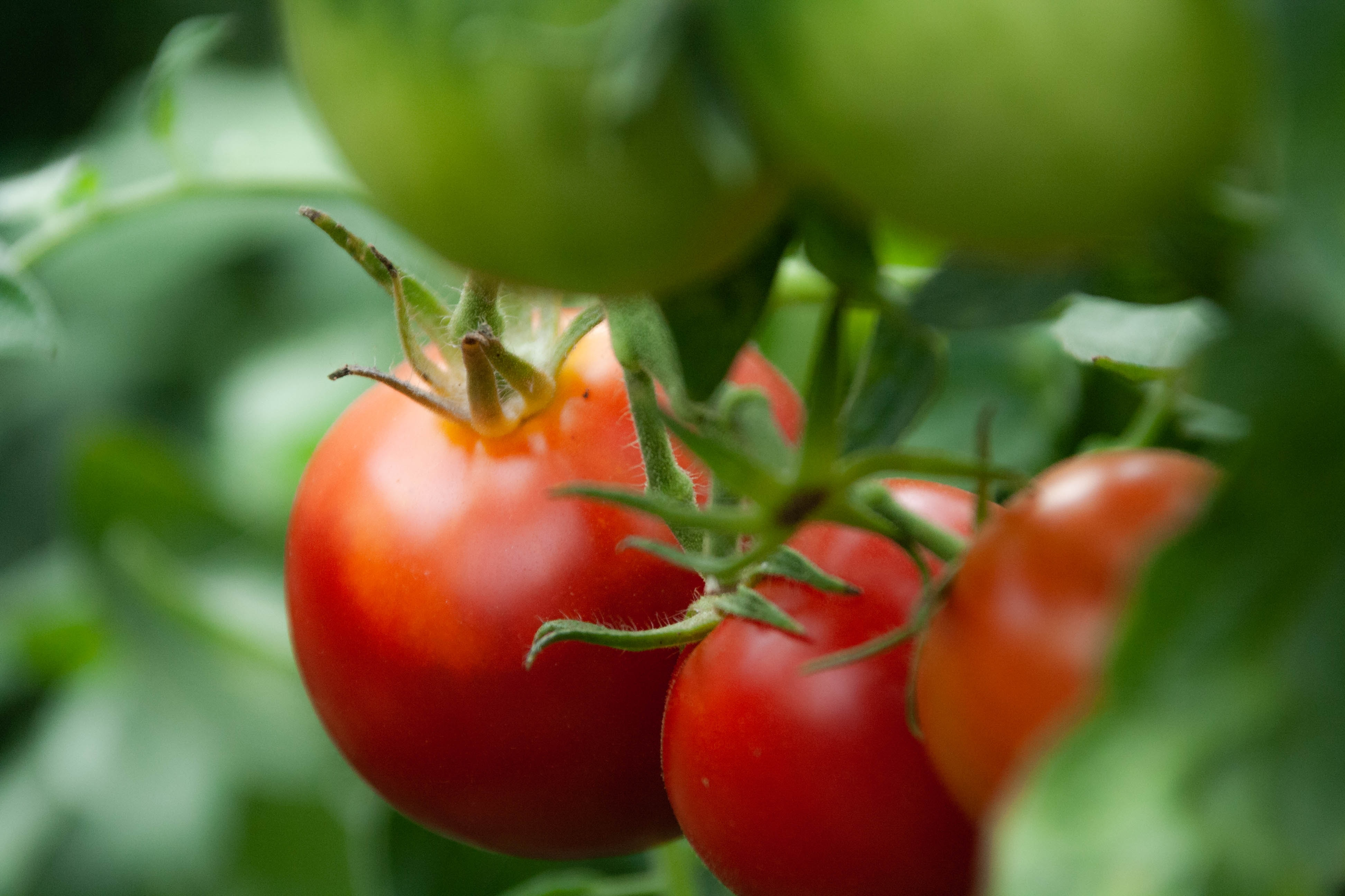 tomato tomatoes lifestyle home garden grow your own nursery plant shop johannesburg gauteng