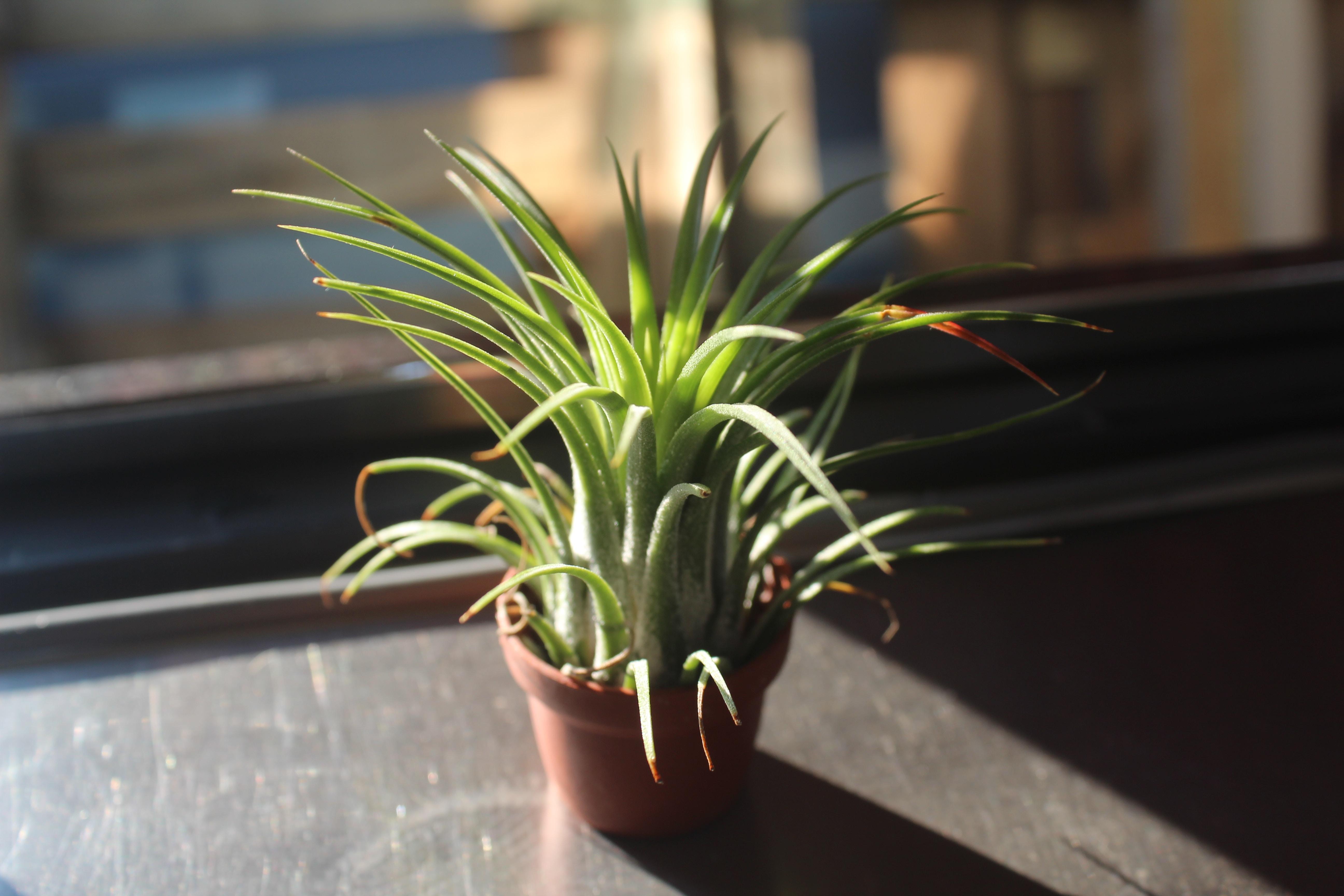 tillandsia air plants airplants lifestyle home garden nursery plant shop johannesburg gauteng