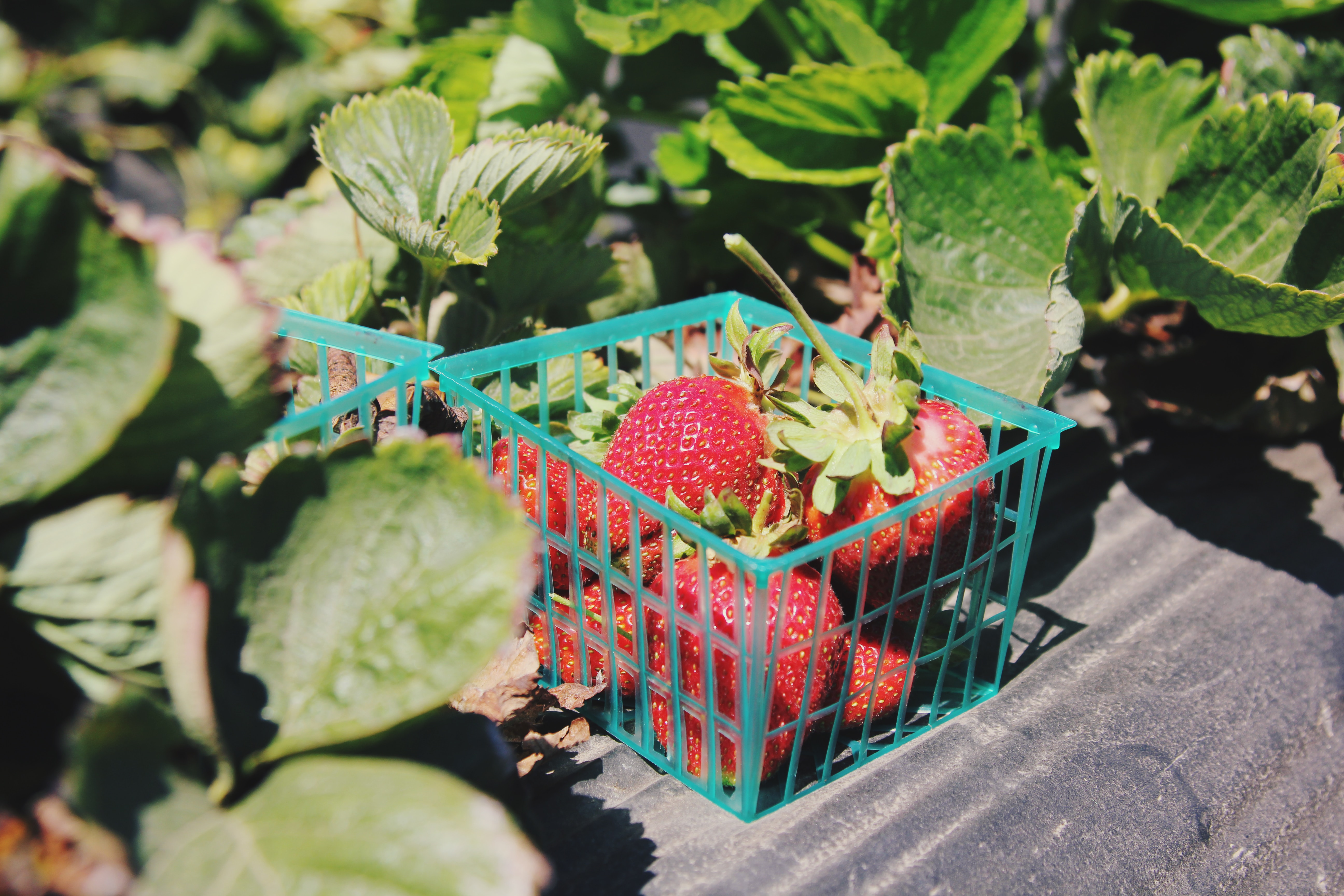 strawberries berries lifestyle home garden nursery plant shop johannesburg gauteng grow your own food sustainable crop harvest spring summer
