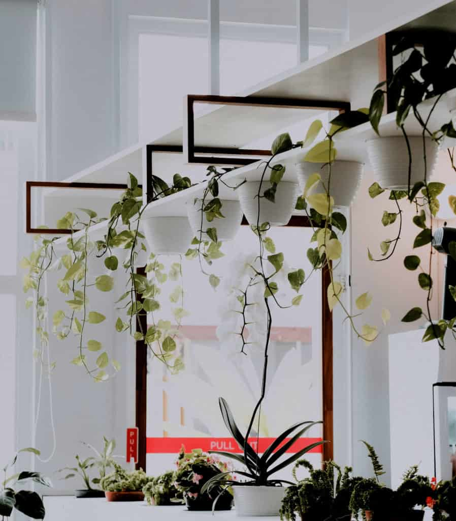 hanging plants lifestyle home garden nursery plant shop pothos vine johannesburg gauteng