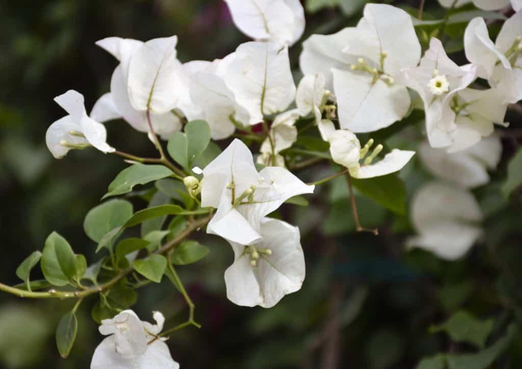 bougainvilleas flower climber plant garden lifestyle home grow beauty colour nursery plant shop