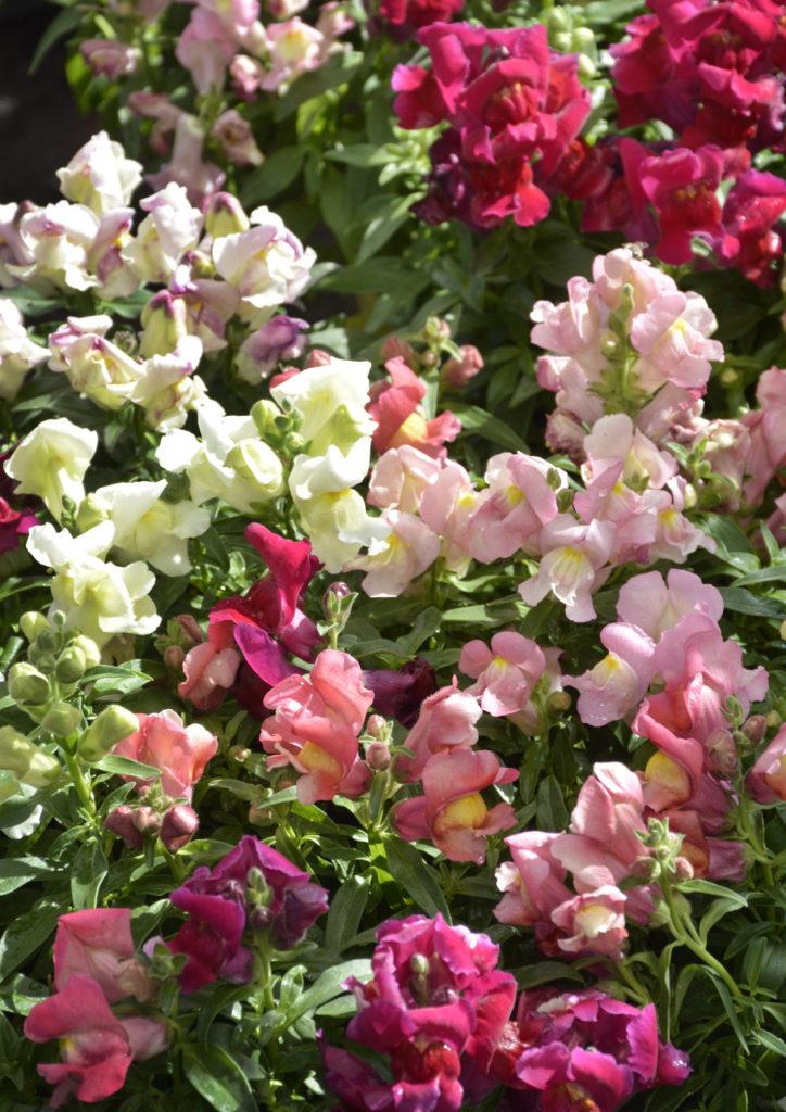 winter annuals lifestyle home garden pansy poppy primula dianthus alyssum petunia johannesburg gauteng colour gardening south africa