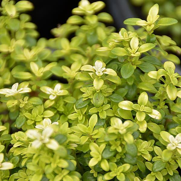 Thyme herbs herb gardening lifestyle home garden johannesburg gauteng nursery plant shop summer grow your own