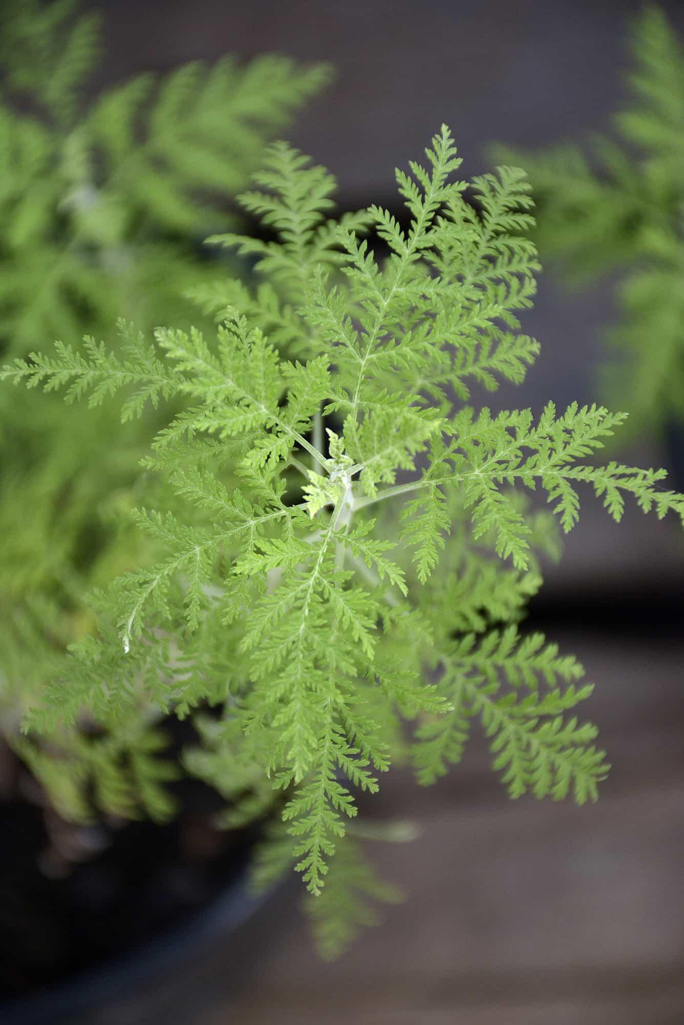 artemisia afra wilde als african wormwood herbs medicine medicinal lifestyle home garden nursery plant shop johannesburg gauteng
